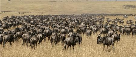 The Trek of the Wildebeest